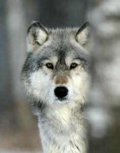 So much respect for the wolf.