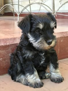 Vito, Mini Schnauzer, Dogs, Animals, Miniature Schnauzer, Animales, Animaux, Pet Dogs, Doggies