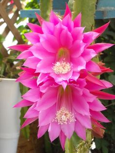 Beautiful EPIPHYLLUM PROFESSOR EBERT Orchid Cactus CUTTING LG Flower