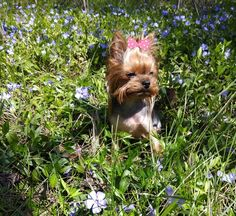 Yorkies, Yorkshire Terrier, Dogs, Animals, Softies, Yorkshire Terriers, Animales, Yorkie, Animaux