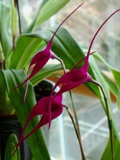 Masdevallia: São inúmeras espécies espalhadas pela América do Sul. Produz flores em formato triangular, bem diferentes das orquídeas que estamos acostumados a ver, que duram cerca de 10 dias. (Foto: Divulgação) #plantas #plants #flowers #flores #casavogue