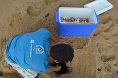 Foto: Divulgação Tamar/ICMBio deslocamento de filhotes de tartarugas