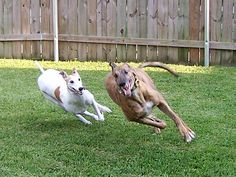 Greyhound Breed, Greyhounds, Gray Matters, Sweet Soul, Grey Hound Dog, Italian Greyhound, Four Legged, Mans Best Friend, I Love Dogs