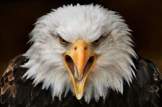 CloseUp do Mundo Animal ( 40 Imagens ) The Eagles, Bald Eagles, Animal Close Up, Eagle Head, Mundo Animal, Painting Edges, Birds Of Prey, Stretched Canvas Prints, Beautiful Birds