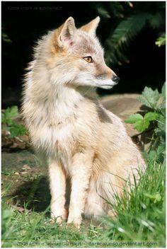 Corsac Fox by darkcalypso*