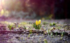 желтые, весна, природа, трава, ветки, листья, крокусы, листва, земля, цветок…