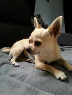 fay the chihuahua