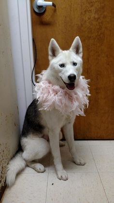 Meet DARLING WELL BEHAVED HUSKY GIRL, a Petfinder adoptable Husky Dog | Toledo, OH | PLEASE REMEMBER TO INCLUDE YOUR PHONE NUMBER OR CALL US AT  419-691-0330.What the heck is this dog...