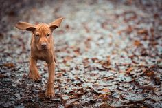 Vizsla Pup - Too Cute!