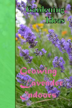 Growing Lavender House Plants with various tips and techniques to make it right. ** Want to know more, click on the image.