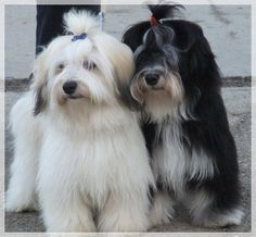 A hypoallergenic Toy breed, the Havanese ranges in height from 8 to 12 inches and weighs from 7 to 16 pounds.