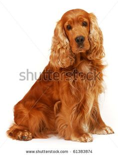 English Cocker Spaniel sitting on isolated white background in the studio