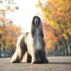 Hound Breeds, Hound Dog, The Perfect Dog, Afghan Hound, Gif Pictures, Hyena, Italian Artist, Dogs Of The World, Happy Dogs