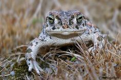 Natterjack Toad (Epidalea calamita, formerly Bufo calamita)