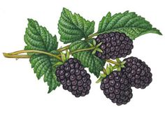 I really want tattoo of a small, botanical illustration of either a blackberry or a raspberry. Maybe this?