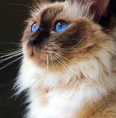Chocolate Point Ragdoll Cat  Model @Katara_princess_of_power