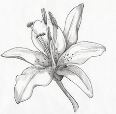 картинки цветы карандашом