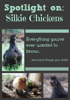 Silkie chickens make