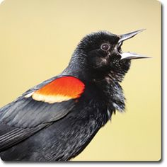 Learn About Your Backyard Birds – Backyard Wild #Bird Directory – Red-Winged Blackbird