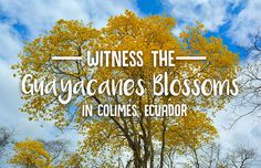 Witness the Guayacanes Blossoms in Colimes, Ecuador — Wanderling
