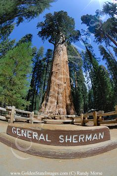 """California Cool: """"General Sherman"""" world's largest tree - Sequoia National Park"""