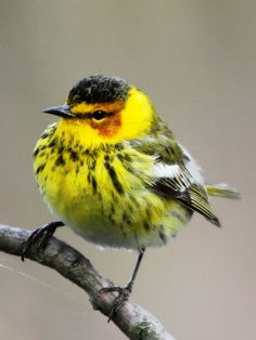 Chilly Cape May Warbler during Biggest Week in American Birding – Magee Marsh –…
