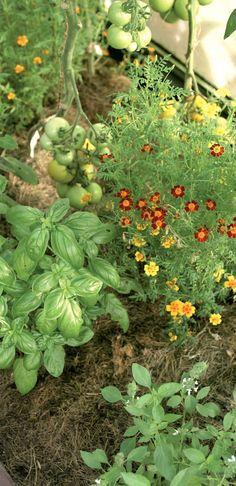 Virpi levittää ruohosilppua kasvihuoneeseen usein, mutta ohuina kerroksina. Sama hiekka palvelee niin kauan kuin kasvit pysyvät terveinä. Plants