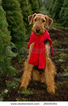 Airedale sporting red sweater