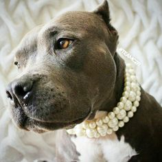 "Beautiful Via wearing Beadie Babiez ""The Via"" Pearl collar in Ivory. Available on Etsy Baby Animals, Cute Animals, Pit Bull Love, Beautiful Dogs, Dogs And Puppies, Doggies, Fur Babies, Cute Dogs, Pitbulls"