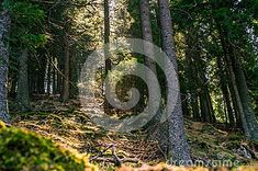 Misty Old Forest. Nature, Moss Stock Photo - Image of environment, moss: 114002620 Sunny Days, Environment, Stock Photos, Mountains, Spring, Nature, Plants, Image, Naturaleza