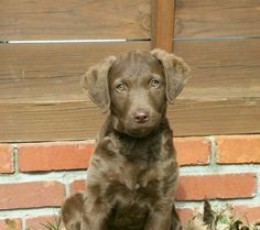 Chesapeake Bay Retriever-  This looks almost just like my little girl puppy! Super adorable. This photo is from the breeder we got our puppy from.
