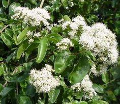 """Galpinia transvaalica """"Wild Pride of India"""" 5m x 4m"""
