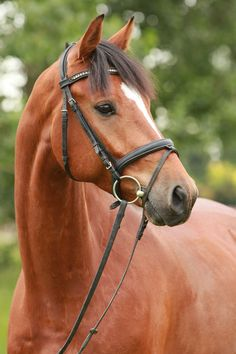 Nerio, a Westphalian gelding. German Horse Center.