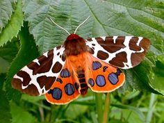 Garden Tiger Moth Wingspan of 1.8 to 2.6 inches. Their patterns serve as a warning to predators, because the moth's body fluids are poisonous.