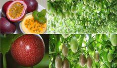 "RARE Purple Passion Fruit ""100"" Fresh Organic Live Seeds Tastes Delicious | eBay"