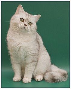 British shorthair cat, chocolate silver shaded