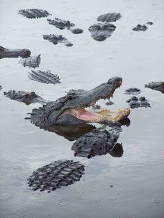 a congregation of alligators Animal Collective, River Monsters, Saltwater Crocodile, Black Lion, Reptiles And Amphibians, Wild Life, Exotic Pets, Animal Kingdom, Crocs