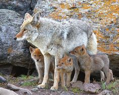 coyote and pups