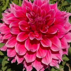 How to Grow Dahlias | The Garden Glove
