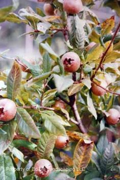 Medlar Fruit--medieval novelty with a complex flavor Guava Tree, Buy Plants Online, Tree Pruning, Home Garden Plants, Zone 5, Exotic Fruit, Plant Nursery, Botany, Green Leaves