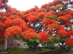 A árvore Flamboyant é endêmica em Madagascar, mas cresce em áreas tropicais ao redor do mundo. Por aqui também é conhecida como Flor-do-Paraíso ou Pau-Rosa.