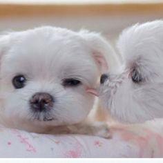 Malteese pups.