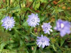 How to Identify Lawn Weed With Small Purple Flowers Small Purple Flowers, Weeds In Lawn, Achillea Millefolium, Begonia, Natural Remedies, Bloom, Herbs, Nature, Plants