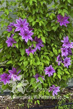 Powojnik Barbara Dibley 18 20 Cm Clematis Plants Garden