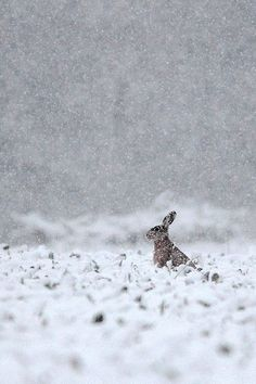 Lebre no inverno.