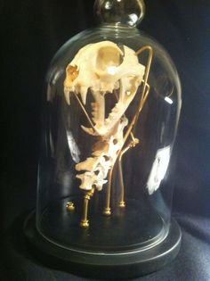 Bobcat Skull with Spine Glass Mount Display Taxidermy Oddities