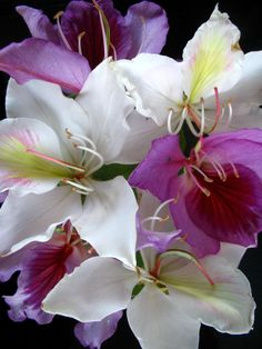 chinese orchid tree flowers