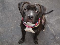 TO BE DESTROYED - 11/16/14 Manhattan Center -P My name is KAYLA. My Animal ID # is A1019423. I am a female blue and white pit bull mix. The shelter thinks I am about 1 YEAR I came in the shelter as a STRAY on 11/01/2014 from NY 10458, owner surrender reason stated was STRAY. For more information on adopting from the NYC AC&C, or to find a rescue to assist, please read the following: http://urgentpetsondeathrow.org/must-read/