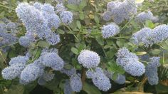 Ceanothus Thyrsiflorus. Ceanothus thyrsiflorus, known as blueblossom or blue blossom ceanothus, is an evergreen shrub in the genus Ceanothus that is endemic to California.
