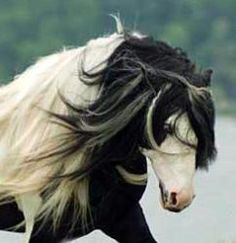 Some day I will have me a pasture with some Gypsy Vanner